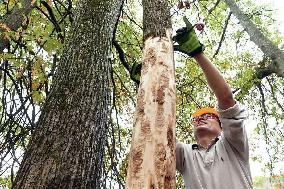 Jian Duan, entomologist with the USDA Agricultural Research Service, scrapes away layers of bark on an ash tree to look for emerald ash borer larvae and parasitoids in a study area at the Cromwell Meadows Wildlife Management Area on October 22, 2019. Photo: Arnold Gold / Hearst Connecticut Media / New Haven Register