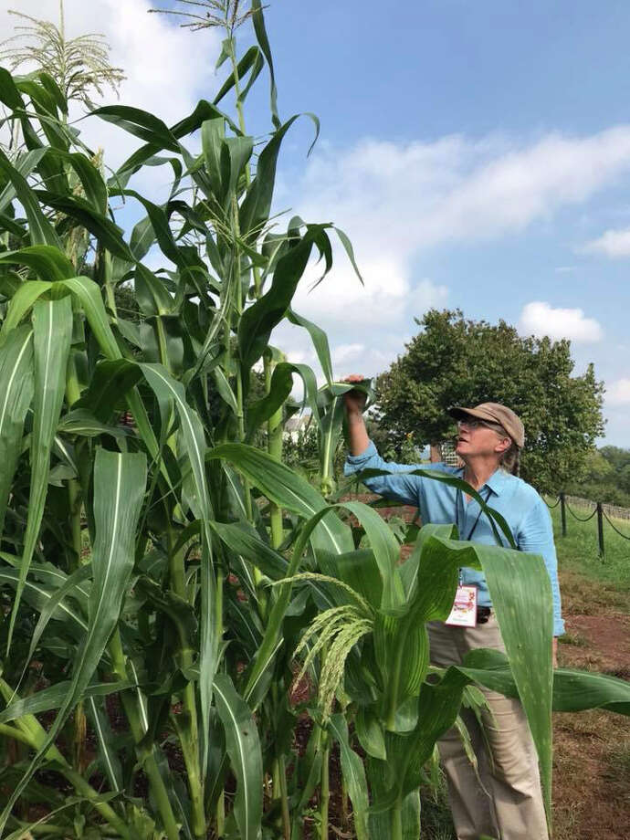 Pat Brodowski, a gardener at President Thomas Jefferson's Monticello estate in south Virginia, examines Cocke's Prolific dent corn in 2018. Tall stalks are the hallmark of old varieties. Photo: David Shields / The Washington Post