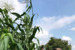 Pat Brodowski, a gardener at President Thomas Jefferson's Monticello estate in south Virginia, examines Cocke's Prolific dent corn in 2018. Tall stalks are the hallmark of old varieties.
