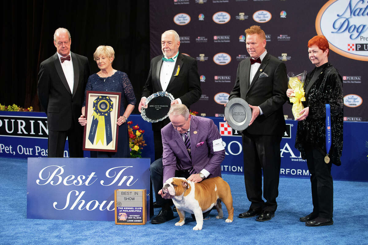 Thor, a two-year-old bulldog owned by former Midlander Kara Gordon, won the 2019 title of Best in Show in the National Dog Show presented by Purina. (Photo provided)