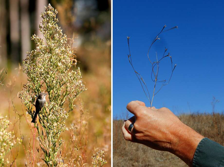 LEFT: Native birds have returned to the area now known as MacArther Meadow, a restored wet meadow, in the Tennessee Hollow Watershed in San Francisco, Calif. on Thursday, Oct. 30, 2019.  RIGHT: Lewis Stringer, associate director of natural resources at Presidio Trust, holds up a native Willow Herb, which when in bloom has purple flowers, in the grassland area of the Tennessee Hollow Watershed in San Francisco, Calif. on Thursday, Oct. 30, 2019. Photo: Photos By Amy Osborne / Special To The Chronicle