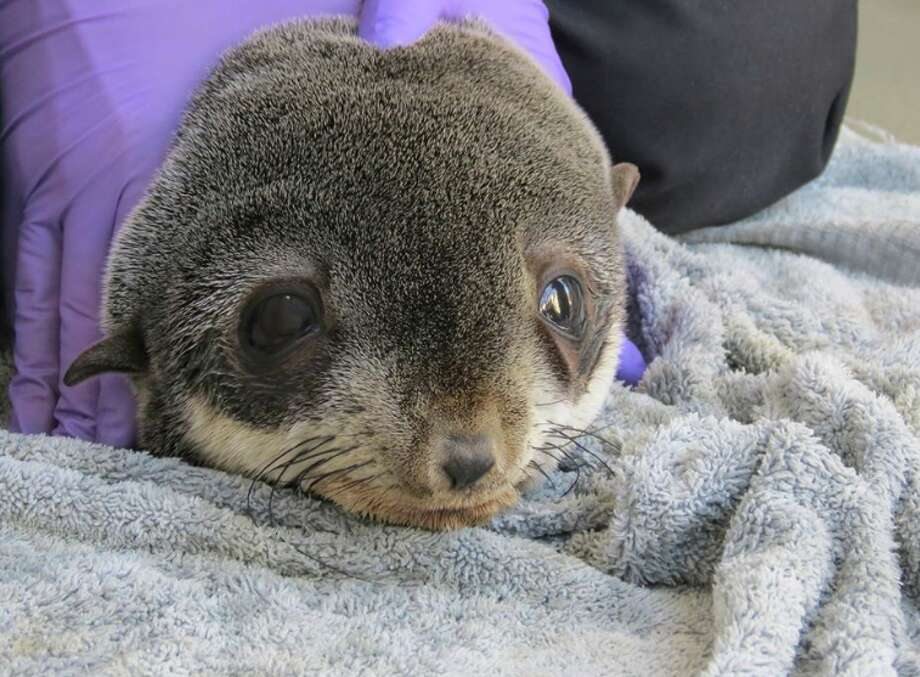 "A northern fur seal pup is recovering after a long journey that led him to an unlikely destination — a parking garage in Redwood City. The young seal, which is in ""decent"" shape according to the Marine Mammal Center in Sausalito, will be released back to the ocean once his lab tests show that he's ready. (Nov. 27, 2019.) Photo: Marine Mammal Center/Facebook"