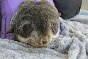 """A northern fur seal pup is recovering after a long journey that led him to an unlikely destination — a parking garage in Redwood City. The young seal, which is in """"decent"""" shape according to the Marine Mammal Center in Sausalito, will be released back to the ocean once his lab tests show that he's ready. (Nov. 27, 2019.)"""