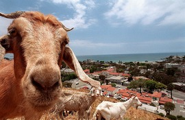 Goats graze atop a hill in Laguna Beach, Calif., behind the city hall building June 9, 1998. The city contracts the goats from a herder for fire prevention, wildland grass and weed control. The Laguna Beach herd of 700 goats travels the length of the coastal city all year, eating 1,445 acres of brush. The city pays $191,999 a year for goats and herders. Goats are more efficient than the hand crews and machinery now used, said Herbert Spitzer, assistant chief of the Los Angeles County Fire Department's forestry division. Humans and machines must cut back brush, and the trimmings must be cleared away. (AP Photo/The Orange County Register, Branimir Kvartuc)