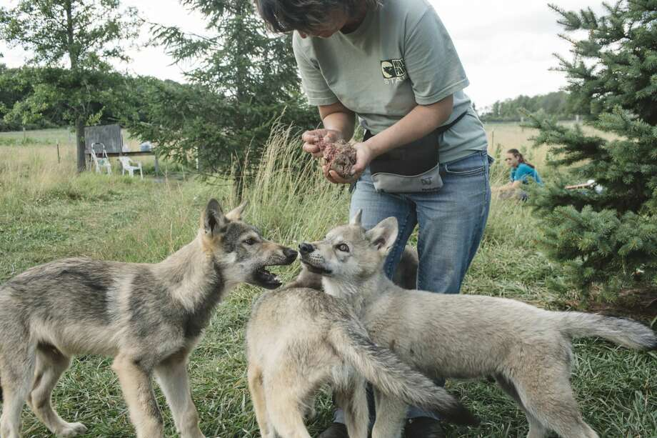 Wolf puppies being fed by Dana Dreznek, director of Wolf Park in Indiana, a nonprofit education and research facility where wolves are socialized. Photo: ANDREW SPEAR/NYT