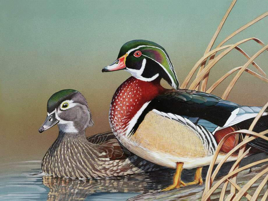 Connecticut's Department of Energy and Environmental Protection announced that prints of the 2020 Connecticut Migratory Bird Conservation (Duck) The 2020 Connecticut Migratory Bird Conservation Stamp print painted by Frank Dolphens, Jr. is now available in limited quantities. Photo: Contributed Photo /