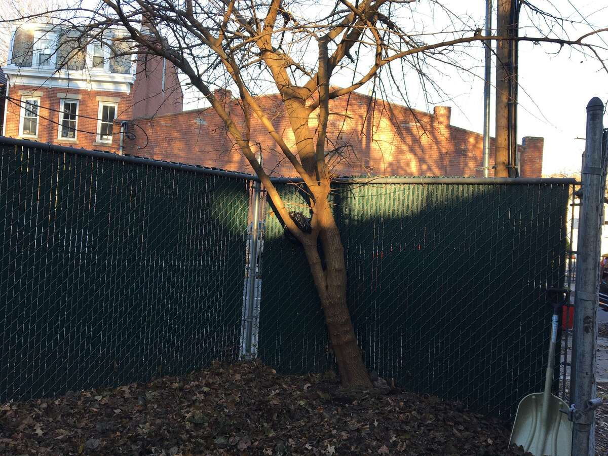 Mulberry tree off Bradley Street where neighbors working on green space