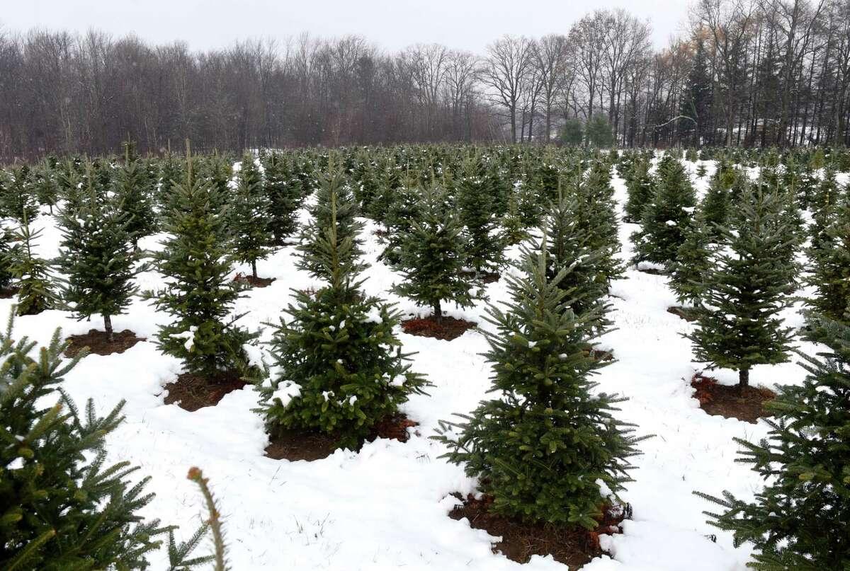 Christmas trees grow in a field at Boulder Brook Farm on Wednesday, Nov. 20, 2019, in Malt, N.Y.