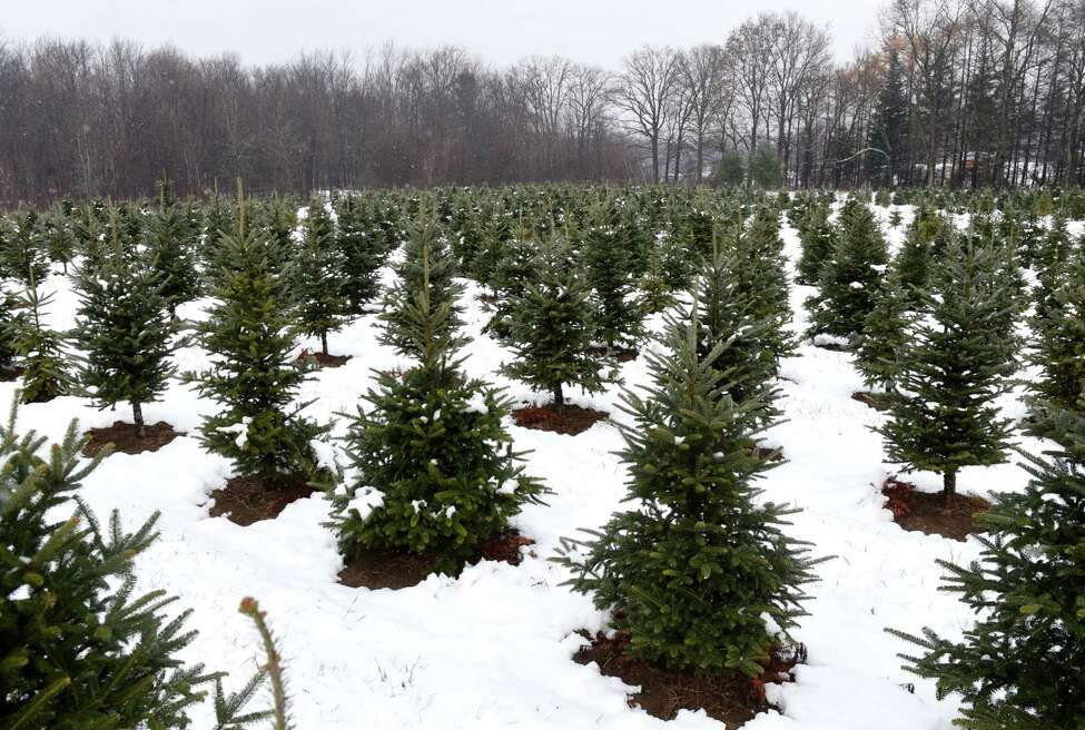 Christmas trees grow in a field at Boulder Brook Farm on Wednesday, Nov. 20, 2019, in Malt, N.Y.