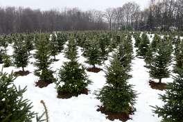 Christmas trees grow in a field at Boulder Brook Farm on Wednesday, Nov. 20, 2019, in Malt, N.Y. (Will Waldron/Times Union)