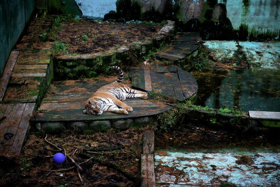 A Siberian tiger that later died rests in an old swimming pool at Tri-State Zoological Park in Cumberland, Maryland, on Oct. 13, 2013. Photo: Washington Post Photo By Bonnie Jo Mount / The Washington Post