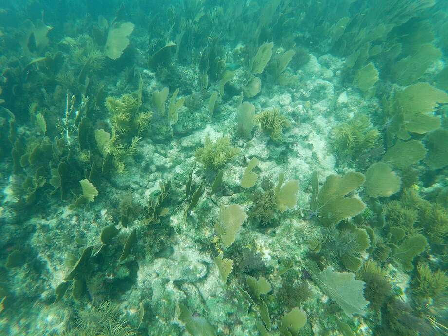 "Dead and alive corals mixed with marine vegetation on August 23, 2019, off Key Largo, Florida. - A team of scientists in the US have managed to reproduce coral in a lab setting for the first time ever, an encouraging step in the race to save ""America's Great Barrier Reef"" off the coast of Florida. (Photo by Gianrigo MARLETTA / AFP) (Photo credit should read GIANRIGO MARLETTA/AFP via Getty Images) Photo: GIANRIGO MARLETTA/AFP Via Getty Images"