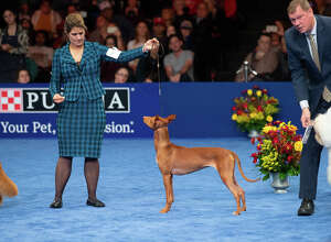 Handler Stacy Threlfall shows Maddie the Pharaoh hound at the National Dog Show Saturday, Nov. 16, 2019. Maddie, who is owned by Dominic Palleschi Carota and Stephen Sipperly of Bethlehem, won the hound group competition, but ultimately lost to Thor the bulldog. The show was broadcast on NBC on Thanksgiving Day.