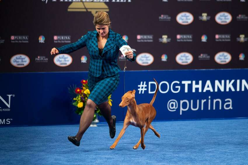 Handler Stacy Threlfall shows Maddie the Pharaoh hound at the National Dog Show Saturday, Nov. 16, 2019. Maddie, who is owned by Dominic Palleschi Carota and Stephen Sipperly of Bethlehem, won the hound group competition, but ultimately lost the Best in Show title to Thor the bulldog. The show was broadcast on NBC on Thanksgiving Day.
