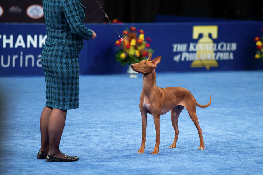 Handler Stacy Threlfall shows Maddie the Pharaoh hound at the National Dog Show Saturday, Nov. 16, 2019. Maddie, who is owned by Dominic Palleschi Carota and Stephen Sipperly of Bethlehem, won the hound group competition, but ultimately lost the Best in Show competition to Thor the bulldog. The show was broadcast on NBC on Thanksgiving Day. Photo: Courtsey National Dog Show