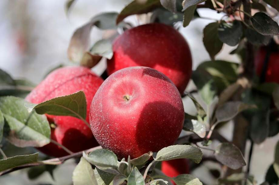 In this photo taken Tuesday, Oct. 15, 2019, Cosmic Crisp apples, a new variety and the first-ever bred in Washington state, sit on the tree ready to be picked at an orchard in Wapato, Wash. The Cosmic Crisp, available beginning Dec. 1, is expected to be a game changer in the apple industry. Already, growers have planted 12 million Cosmic Crisp apple trees, a sign of confidence in the new variety. (AP Photo/Elaine Thompson) Photo: AP Photo/Elaine Thompson
