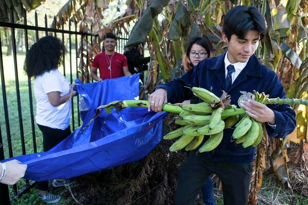 Juan Gallegos carries bananas after they were cut from a tree in the community garden near Furr High School on Tuesday, Nov. 19, 2019, in Houston. Furr, in northeast Houston, has become the first environmental justice school in the country thanks to a $10 million grant it won in 2016. The students focus on different environmental issues to become more involved in their community and collaborate with area organizations.