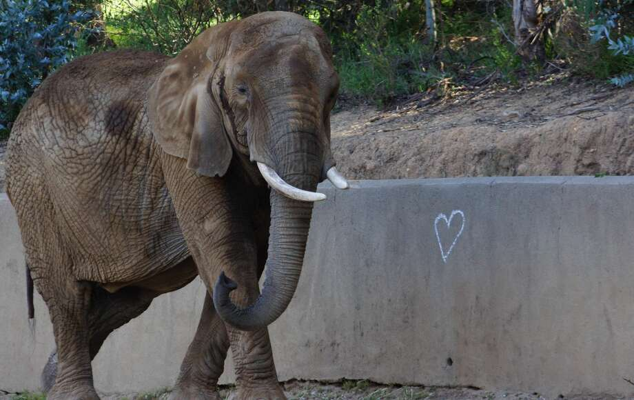 M'Dunda, the eldest African elephant at the Oakland Zoo, died unexpectly on Dec. 3rd, 2019. Photo: Courtesy Oakland Zoo