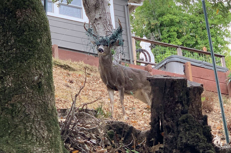 Marin Humane released photos of a deer buck that had holiday lights stuck in his antlers. Photo: Main Humane