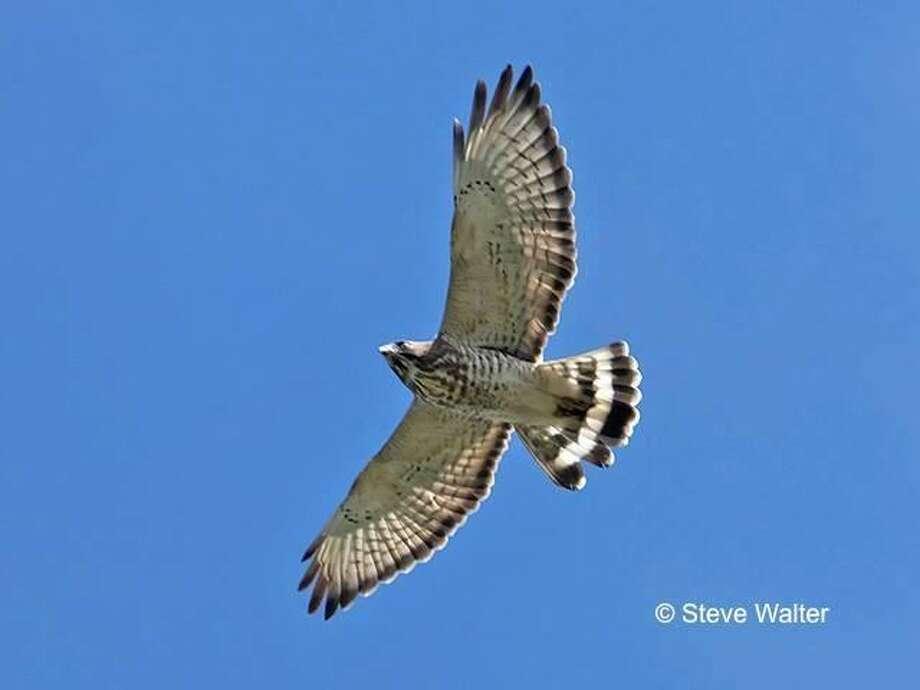 Quaker Ridge Hawk Watchers will be at Audubon Greenwich Dec. 6 for slide show presentation on the results of this year's hawk watch season. Photo: Steve Walter / Greenwich.audubon.org
