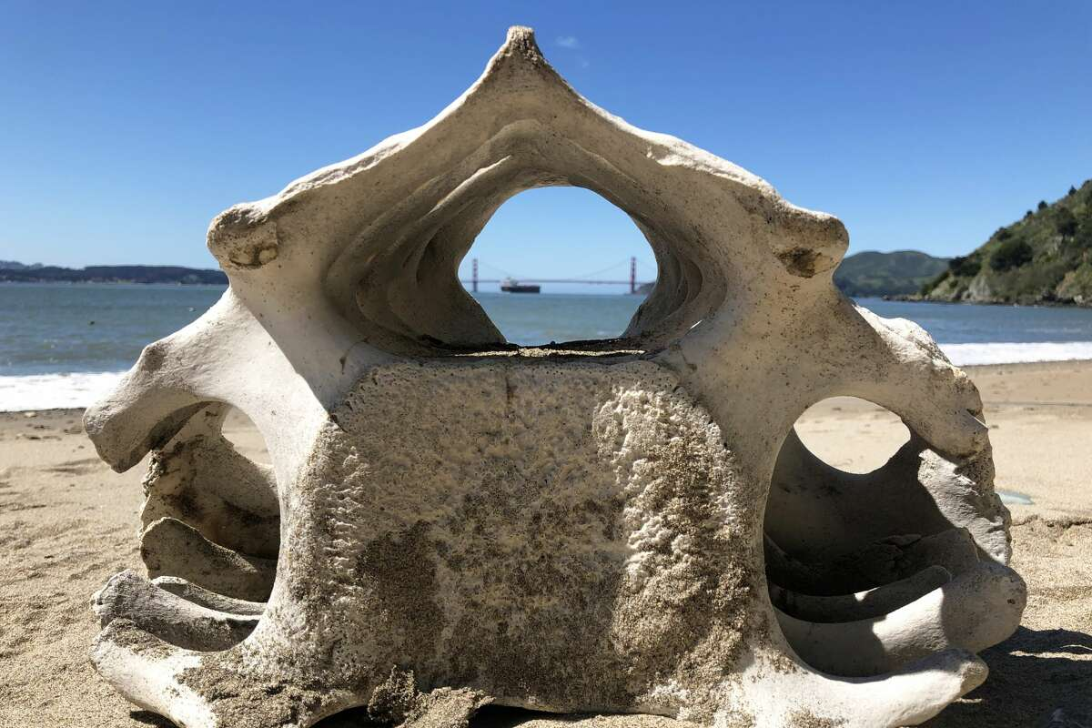 A whale vertebra is seen on the beach during a necropsy. All marine mammal stranding activities were conducted under authorization by the National Marine Fisheries Service through a Stranding Agreement issued to the California Academy of Sciences and MMPA/ESA Permit No.18786-01.
