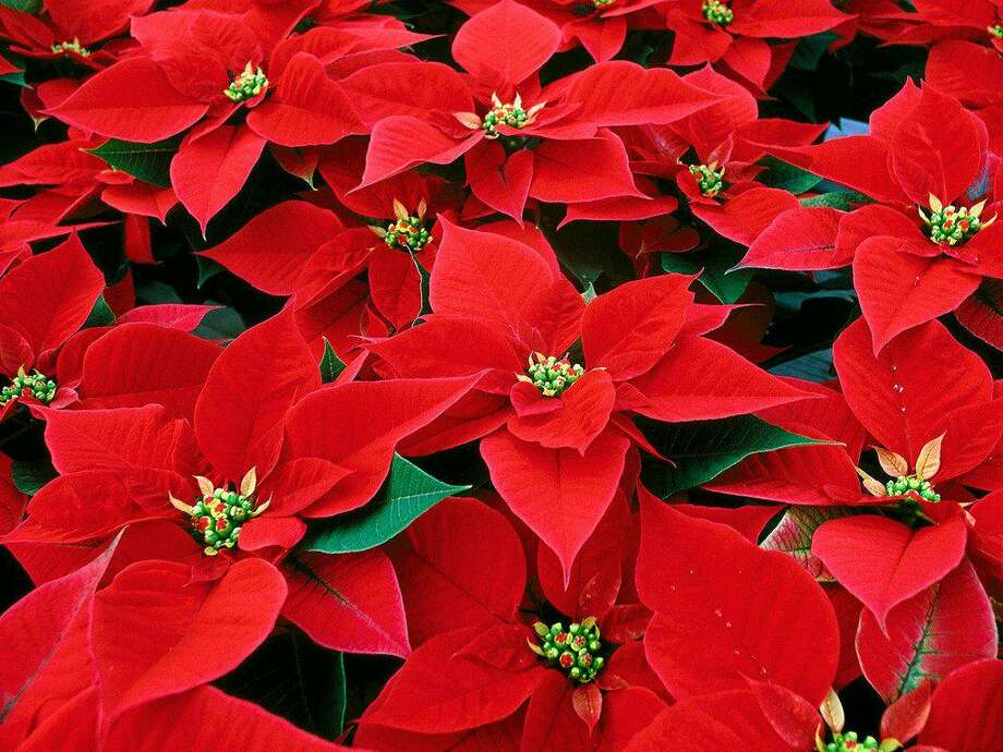 Many people try to carry their poinsettia plants over and rebloom them the next year. If you have a green thumb and the incentive, you might give this beautiful plant a try. Photo: Photo Courtesy Michael Potter
