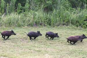 A feral hog invasion in the senior citizen community of Windsor Hills has left residents and others both scared and frustrated. On Wednesday night, Dec. 4, dozens of residents of the community on the northern edge of The Woodlands flooded the township Board of Directors meeting, describing the terror the animals have created and pleading for any kind of help township officials could provide. During public comment on Dec. 4, numerous residents described the destruction that the feral hogs are doing in the community — digging up yards and sod, eating plants and other things such as acorns and grubs — while also terrorizing residents who are now fearful of going outside because they might encounter the hogs, which are exponentially more dangerous when cornered or a sow is protecting her piglets.