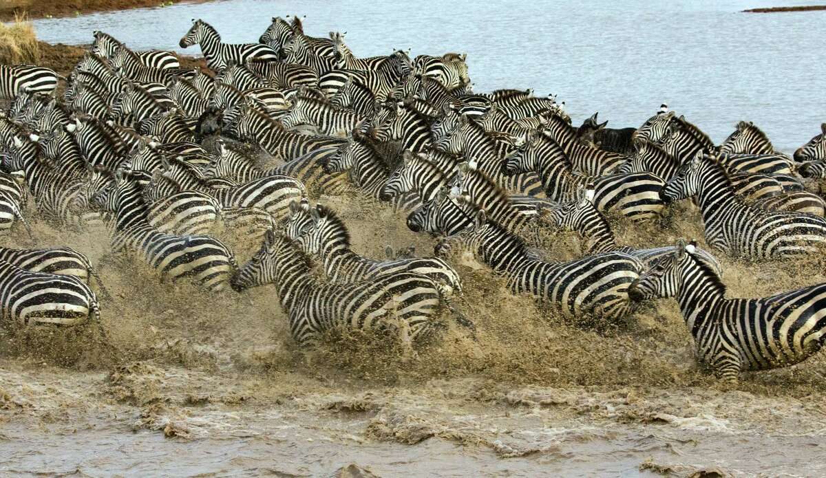Serengeti National Park. Herd of zebras (Equus quagga) in water. Tanzania. (Photo by: Godong/Universal Images Group via Getty Images)