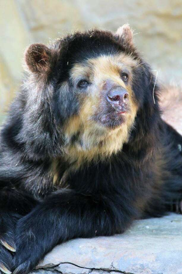 Bernadette, a 28-year-old spectacled bear from the San Antonio Zoo, died Thursday. She lived eight years past her lifespan, according to the zoo. Photo: San Antonio Zoo