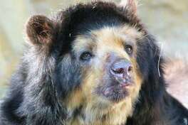Bernadette, a 28-year-old spectacled bear from the San Antonio Zoo, died Thursday. She lived eight years past her lifespan, according to the zoo.