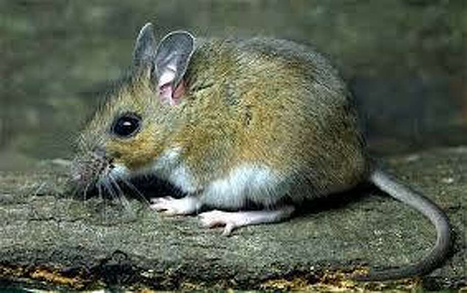 A white-footed mouse. Photo: / Contributed Photo / The News-Times Contributed