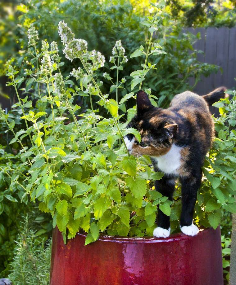 Cat owners can help break up boredom in their pets with a healthy dose of catnip. Photo: Bonnie Plants, Photographer / Bonnie Plants / © Van Chaplin 2011