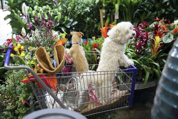 Pet dogs stand in a shopping cart inside a Lowe's Cos. Home Improvement Warehouse store in Burbank, Calif., on May 19, 2017.