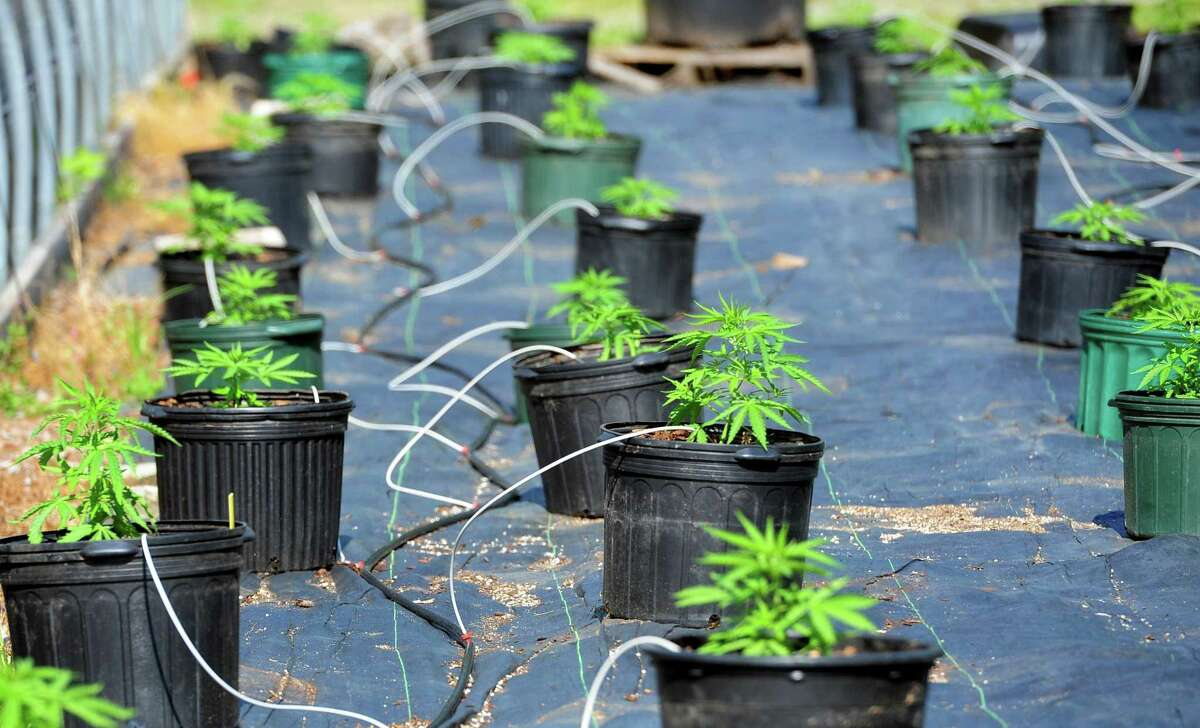 O'Hara's Nursery is renting out some of the land there to grow industrial hemp in Monroe, Conn., on Tuesday July 2, 2019. The nursery, operated by Partick O'Hara, is growing industrial hemp as part of a pilot program in which State Representative JP Sredzinski (R-112) is supporting some bi-partisan legislation to promote it's production.