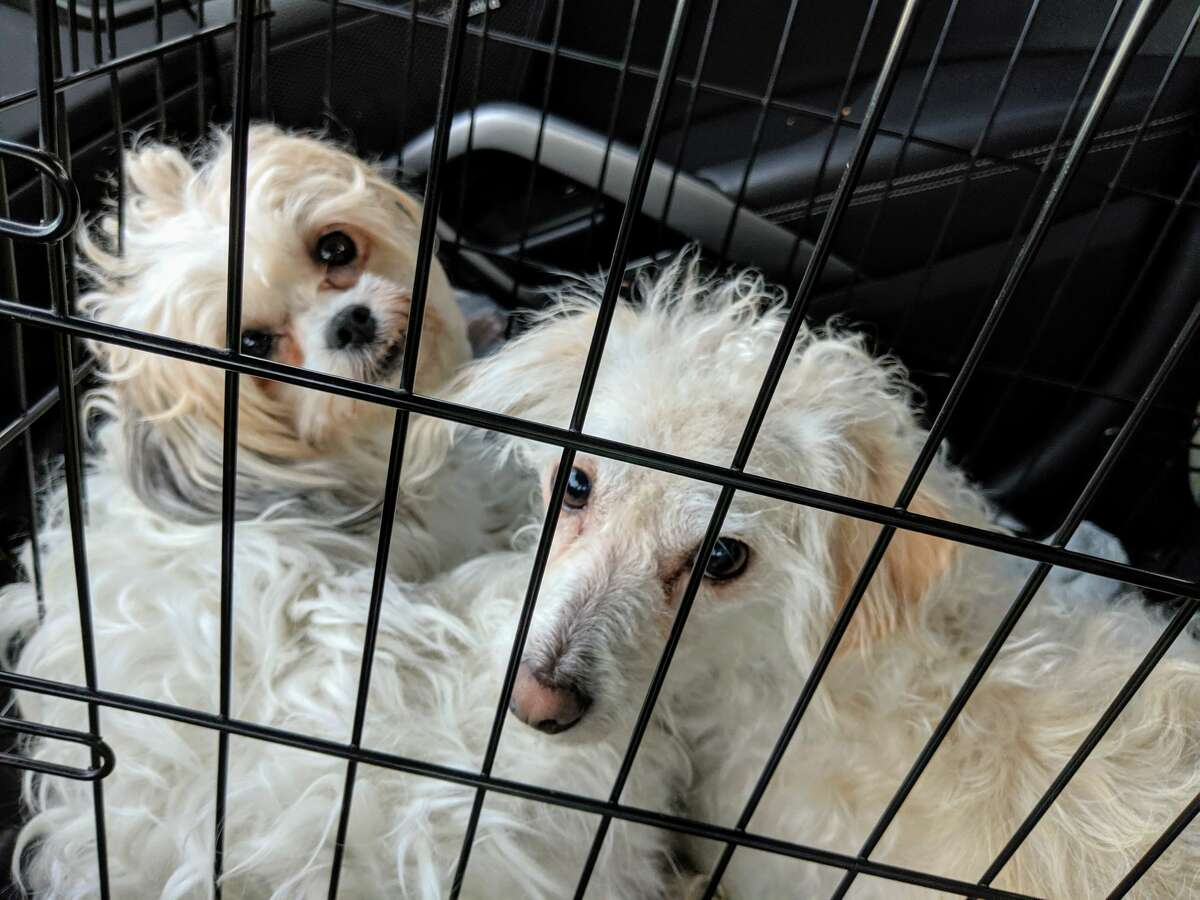 A local man is pleading to get his dogs back after they were given up for adoption while he was in the hospital recovering from a crash that involved him and his two pups.