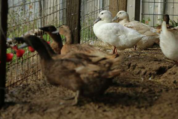 A flock of White Pekin and hybrid layer ducks drink water from a feeder.