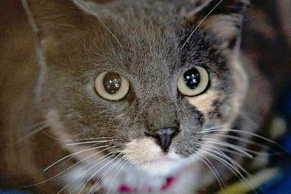 Smokey is a female young adult pastel Torti whose owner passed away and is now available at the 5A's Animal Shelter in Godfrey. Starting next year, nonferal cats in Illinois are required to have rabies inoculations. For more about Smokey, call the shelter at 618-466-3702.