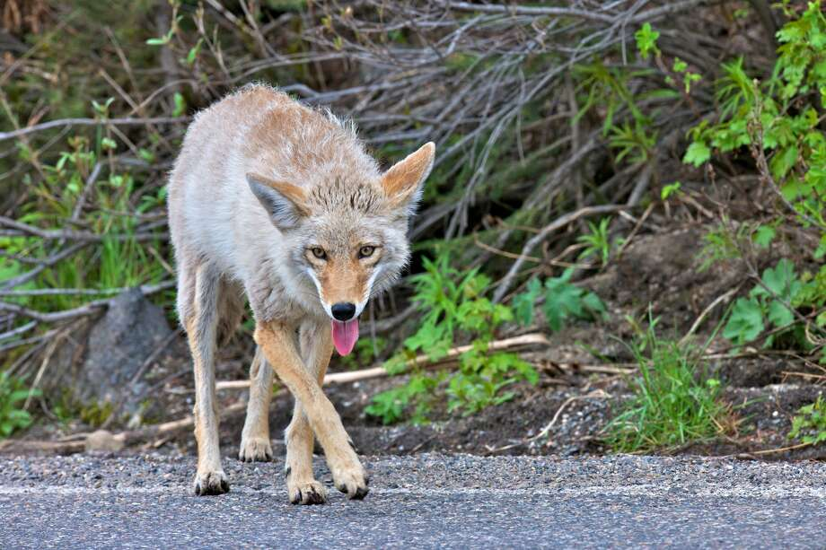 A coyote was spotted wandering the streets of downtown San Francisco with a rat in its mouth on Friday evening. Photo:  Bruce Gifford / Getty / © COPYRIGHT 2011 GIFFORD ALL RIGHTS RESERVED
