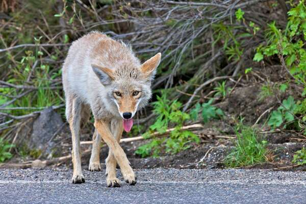 A coyote was spotted wandering the streets of downtown San Francisco with a rat in its mouth on Friday evening.