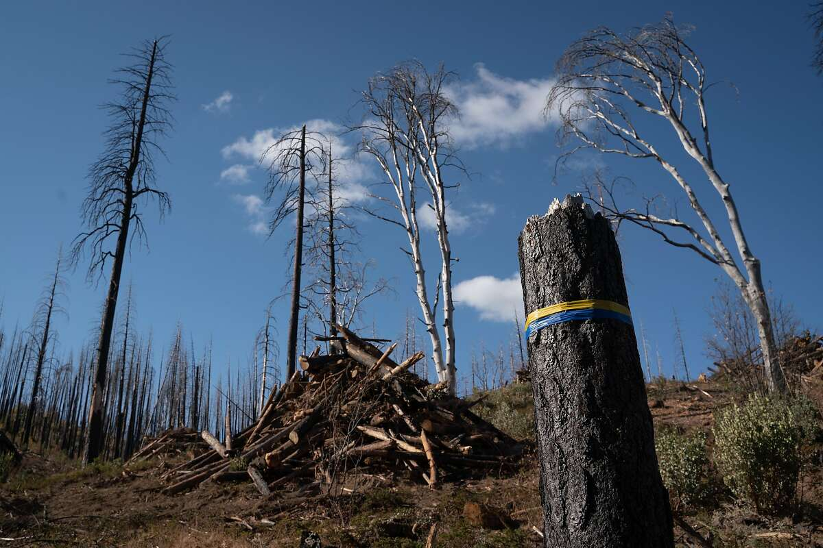 A charred tree is tagged with a boundary marker to indicate the logging area in Stanislaus National Forest near Groveland, Calif., on Friday, November 22, 2019.