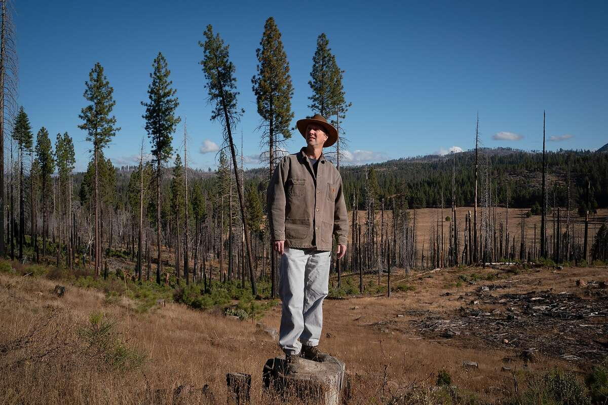 Chad Hanson, Ph.D and Forest Fire Ecologist at The John Muir Project, stands near a logged area where small pine trees start to regenerate in Stanislaus National Forest near Groveland, Calif., on Friday, November 22, 2019.