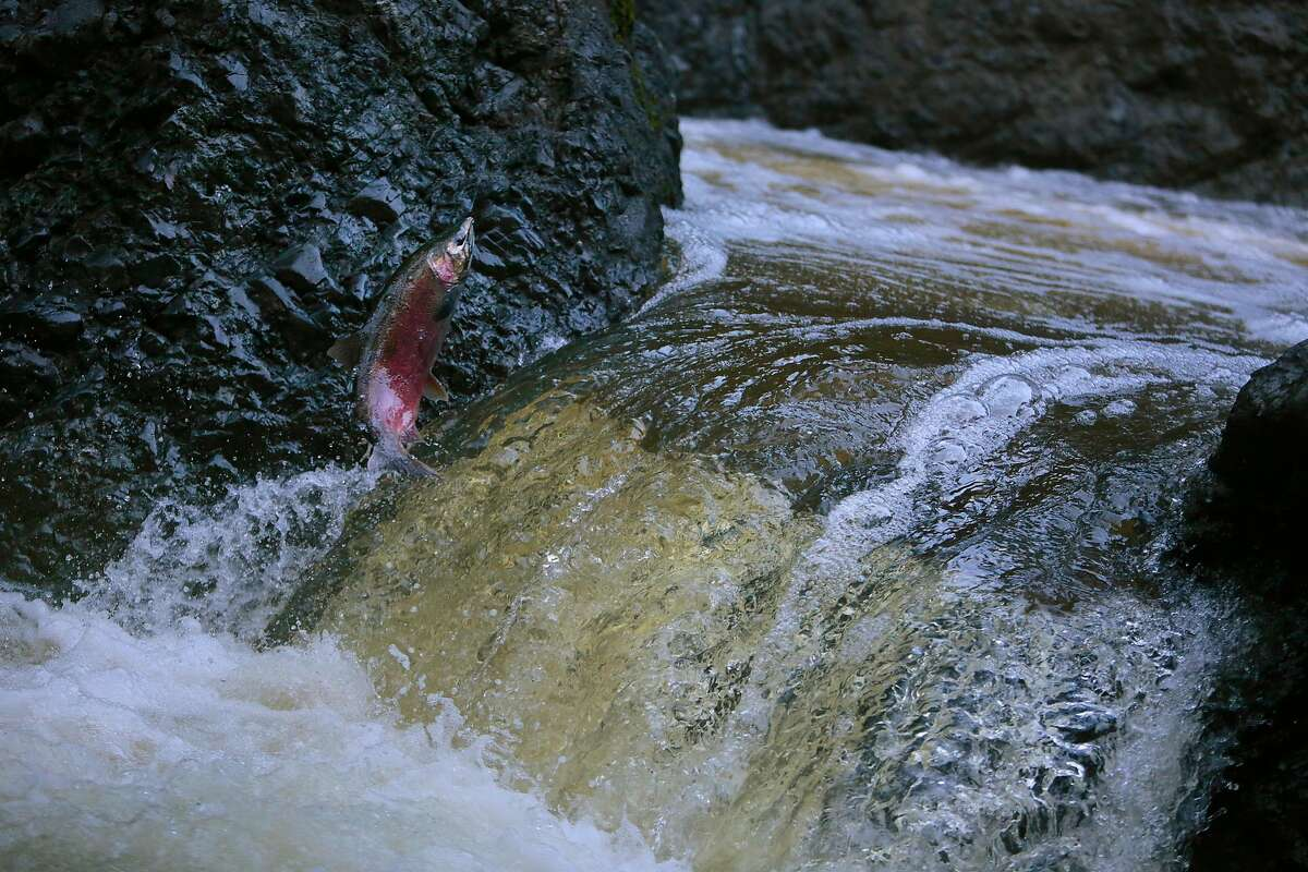 An endangered coho salmon jumps a waterfall at the Inkwells in the San Geronimo Creek in Samuel P. Taylor State Park in Lagunitas, California, Wednesday, December 23, 2015. Ramin Rahimian/Special to The Chronicle