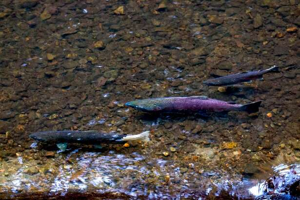 Coho salmon, including one in crimson, prepare spawning bed in Lagunitas Creek watershed in Marin County