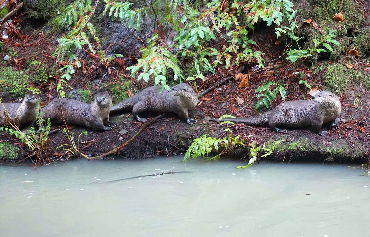 A family river otters wait along shore of Lagunitas Creek for salmon to arrive