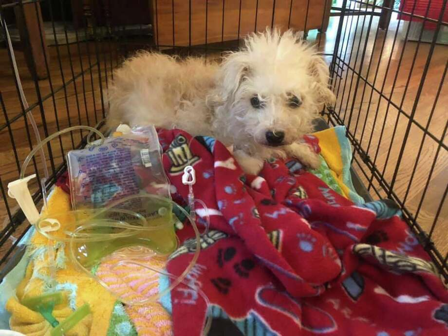 A local shelter is asking for donations for a baby poodle that had 13 large stones in her belly. Photo: SNIPSA