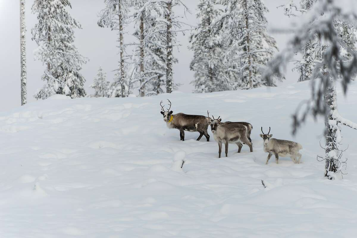 In this Wednesday, Nov. 27, 2019 photo, reindeer roam the forest close to a weather station near Kiruna set up by Stockholm University where a collaboration between reindeer herders and scientists is attempting to shed light on dramatic weather changes and develop tools to better predict weather events and their impacts. Unusual weather patterns in Sweden's arctic region seem to be jeopardising the migrating animals' traditional grazing grounds, as rainfall during the winter has led to thick layers of snowy ice that block access to food.