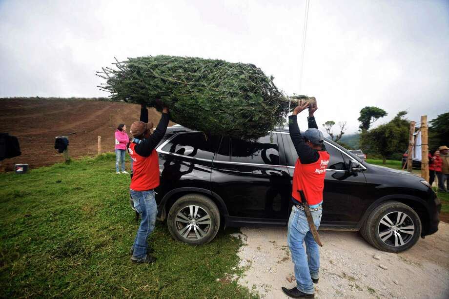 Christmas trees should be wrapped and secured to your vehicle before bringing them home. Photo: ORLANDO ESTRADA / AFP Via Getty Images / AFP or licensors