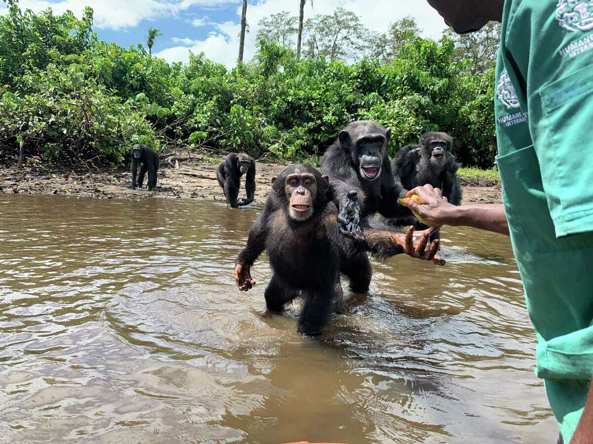 Chimpanzees catch food thrown to them by a team of caretakers on Monkey Island, Liberia, on Nov. 3, 2019. The chimpanzees were infected with hepatitis B in the 1970s.