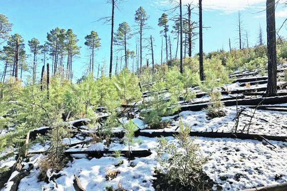 Wesleyan Professor Helen Poulos will install sap-flow sensors at this site in southern Arizona. The area was burned by wildfire in 2011 and is seeing conifer regeneration. Photo: Wesleyan University Photo