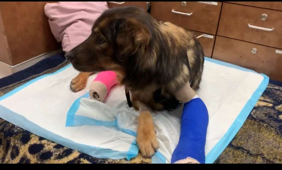 Meet Pandora, a 2-year-old shepherd mix that has remained strong and resilient after being hit by a car and fracturing six bones last month. Photo: SNIPSA